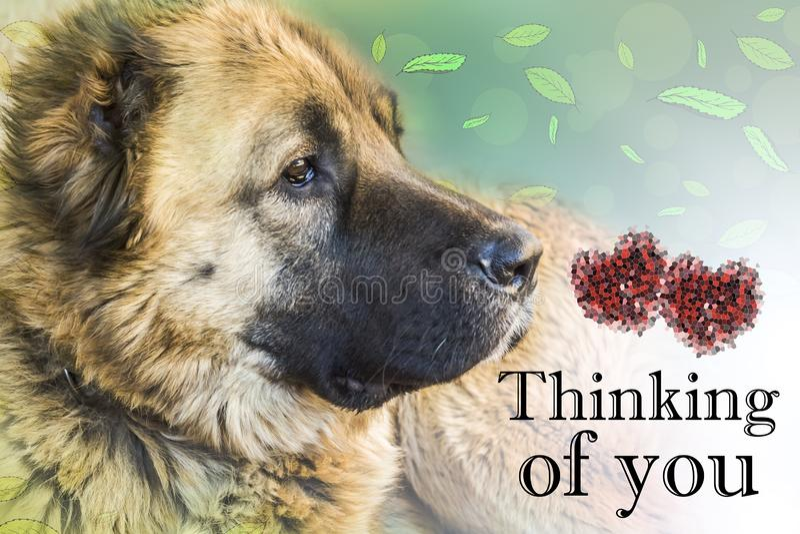 Oude hond Kaukasische herdershond twee jaar Het denken aan u - kaart stock afbeelding