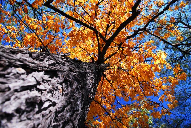 Oude iepboom in de herfst stock foto