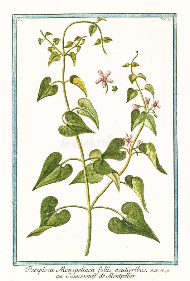 Oude illustratie van Periploca-acutioribusinstallatie van monspeliacafoliis stock afbeeldingen