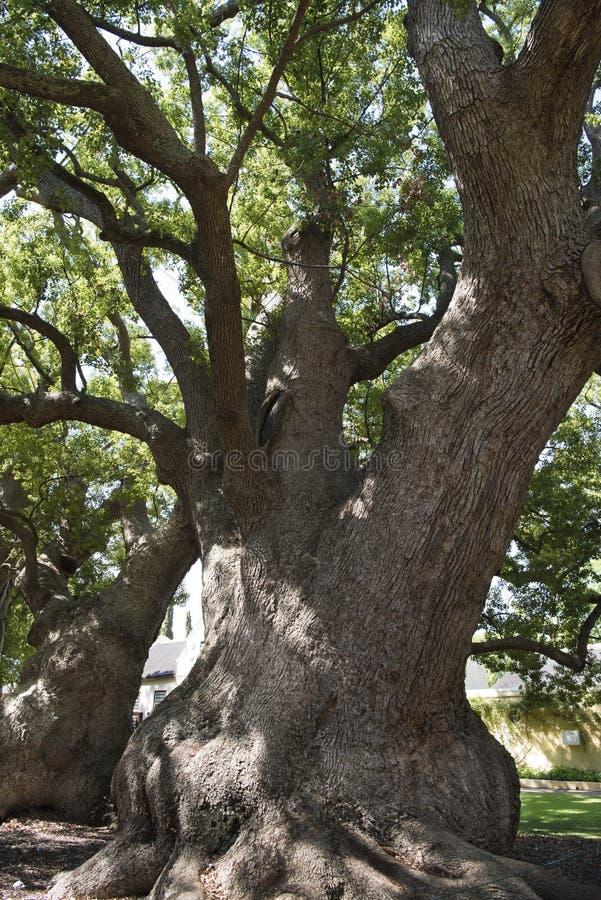 Oude kamferbomen royalty-vrije stock fotografie
