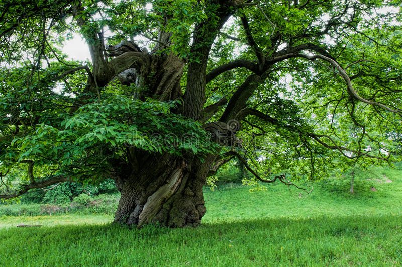 Oude Kastanjeboom royalty-vrije stock foto