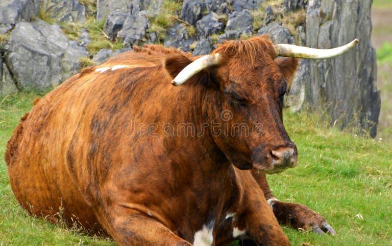 Oude koe bij bakenheuvel Leicestershire Engeland stock foto