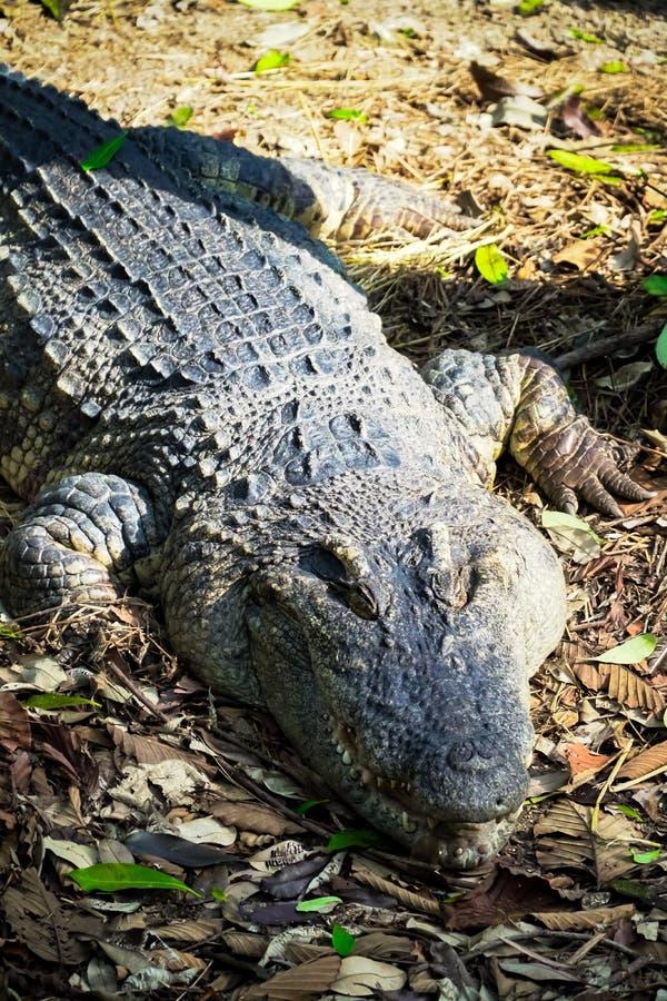 Oude Krokodil royalty-vrije stock fotografie