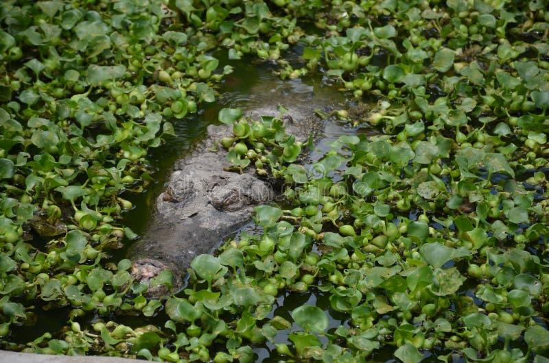 Oude krokodil die in het struikgewas sluimeren Slaapkrokodil stock afbeelding