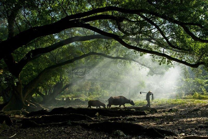 Oude landbouwer onder de oude banyan boom