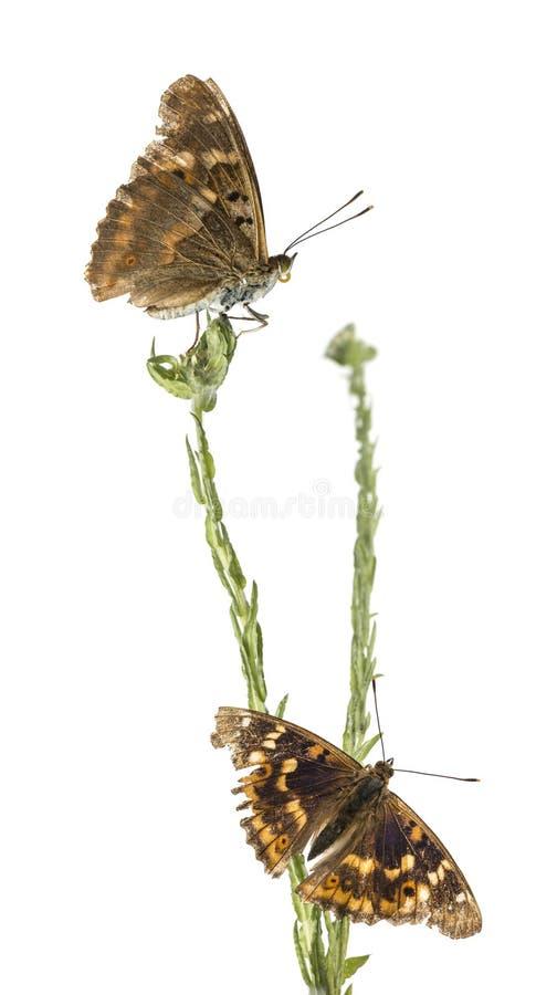 Oude Lesser Purple Emperor-vlinders op een installatie, Apatura Ileia royalty-vrije stock foto