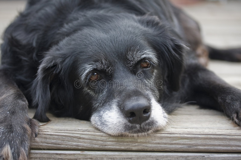 Oude Luie Hond royalty-vrije stock fotografie