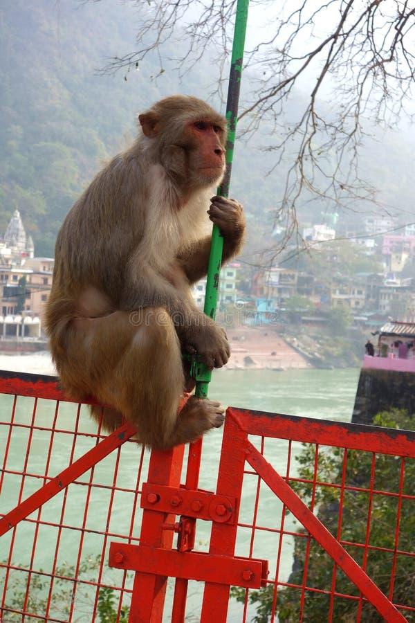 Oude Macaque-Aap op Brug stock foto