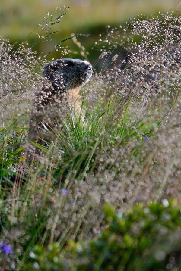 Oude marmot in het rotse gras stock fotografie