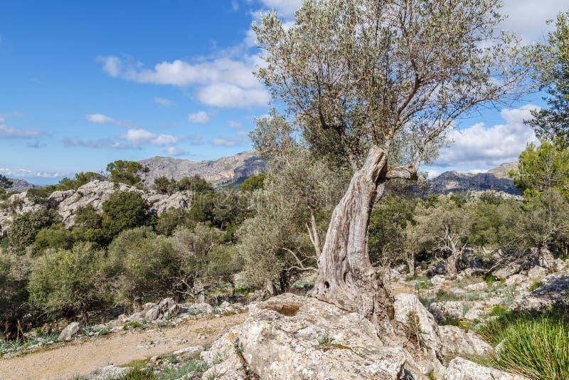 Oude mediterrane olijfboom in Mallorca royalty-vrije stock afbeelding