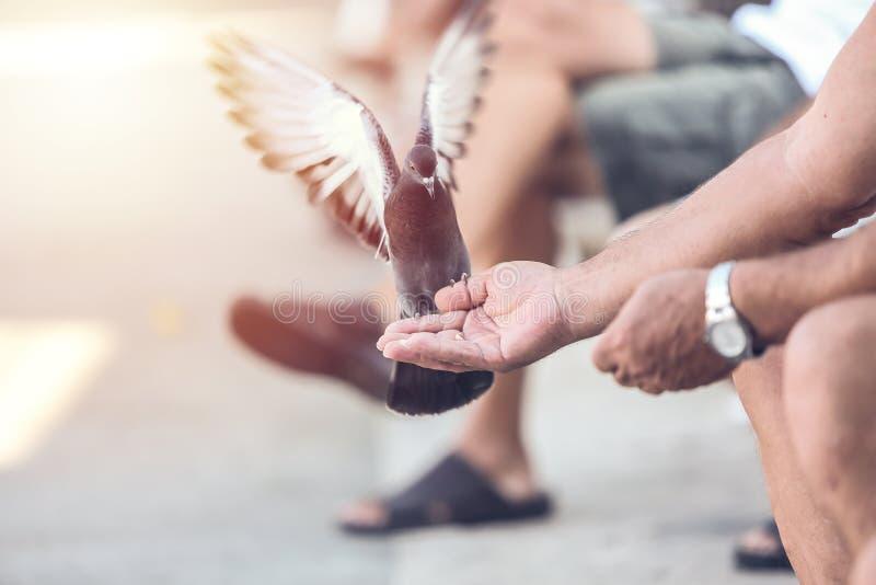 Oude mens die de duif in de straat voeden royalty-vrije stock afbeelding