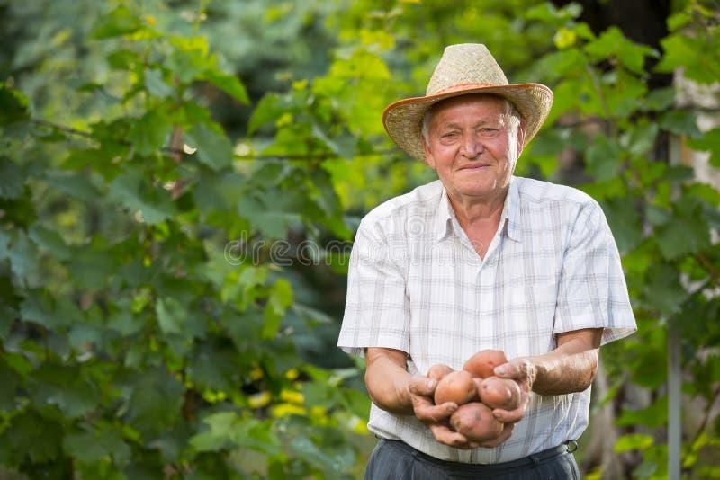 Oude mensenhand met verse geoogste aardappels op groene achtergrond stock foto