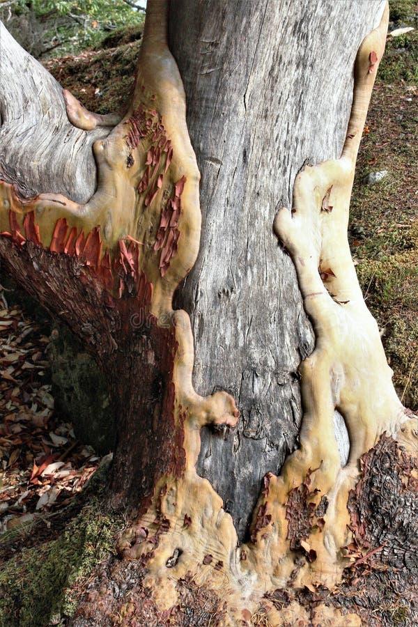 Oude met littekens bedekte Arbutus-boom stock afbeeldingen