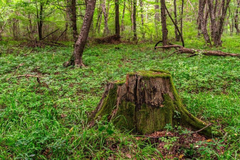 Oude mos behandelde stomp in bos stock afbeelding