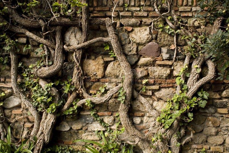 Oude muur met wijnstokken stock foto