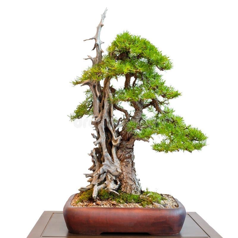 Oude naaldboomlariks met dood hout als bonsaiboom royalty-vrije stock afbeeldingen