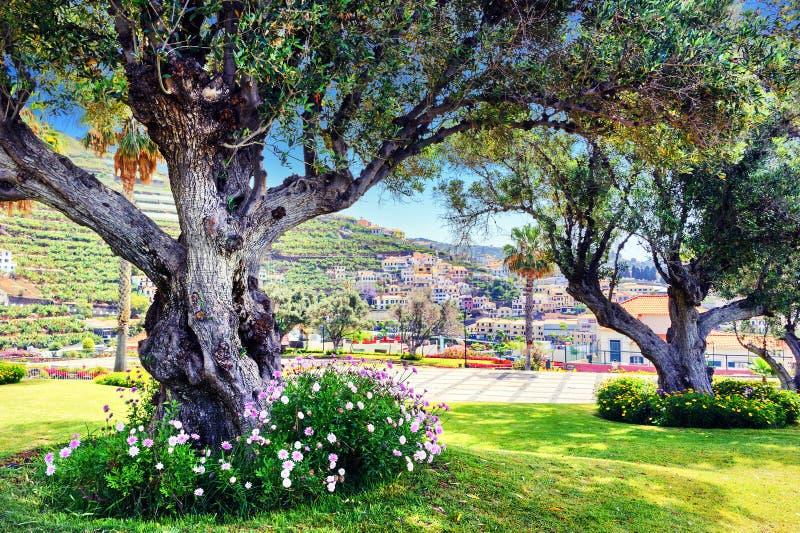 Oude olijfbomen in het park van de de zomerstad stock foto's
