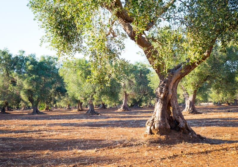 Oude olijfbomen in Zuid-Italië royalty-vrije stock afbeeldingen