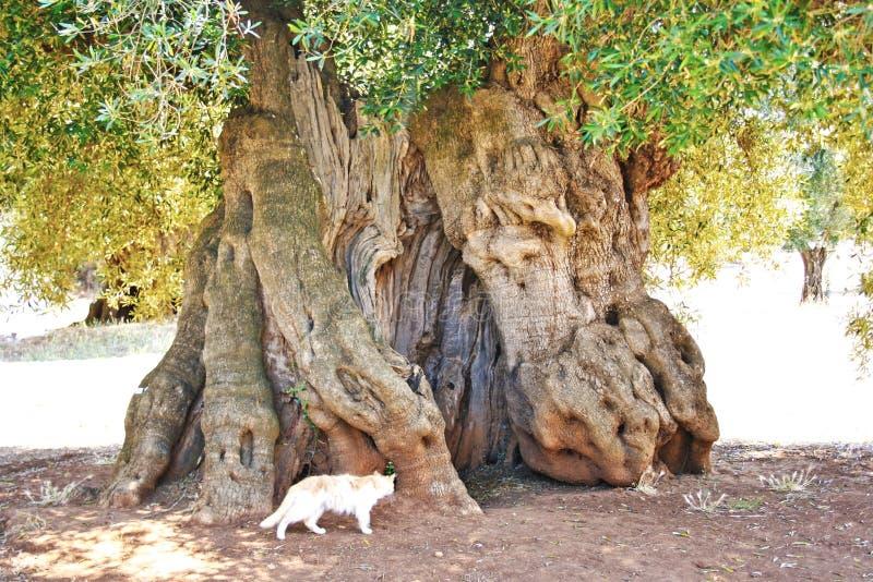 Oude olijfboom, boomstam stock afbeelding