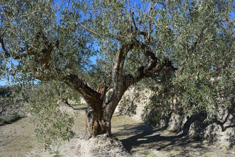 Oude olijfboom op een bergterras, Spanje royalty-vrije stock afbeeldingen