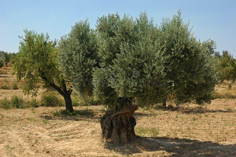 Oude olijfboom op een landbouwbedrijf in Spanje royalty-vrije stock fotografie