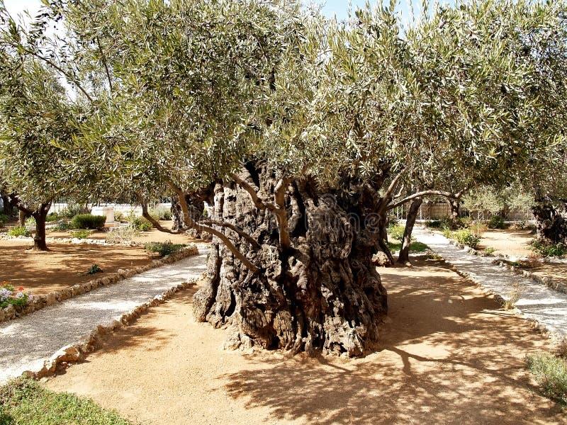 Oude olijfboom in Tuin van Gethsemane Israël, Jeruzalem royalty-vrije stock foto