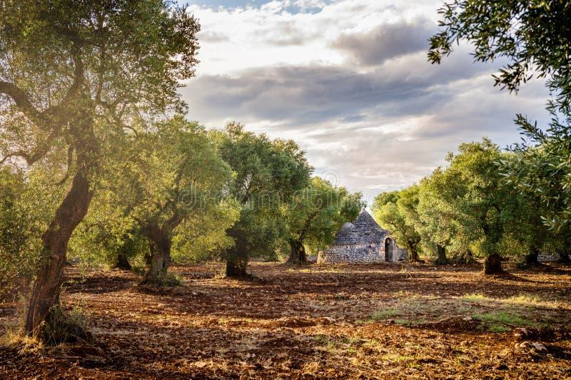 "Oude olijfgaard bij zonsondergang in Puglia Apulia †""Italië stock foto"