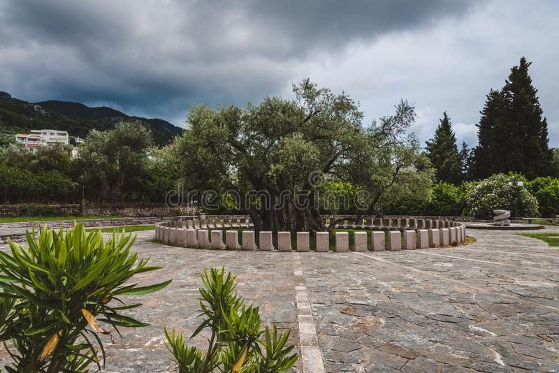 Oude Olive Tree in Oude Bar, Montenegro royalty-vrije stock afbeelding