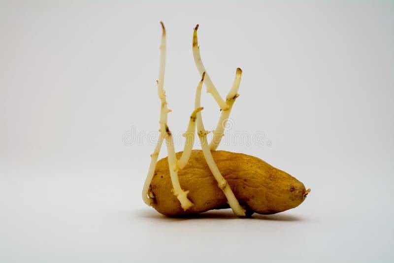 Oude ontkiemende aardappel royalty-vrije stock foto's