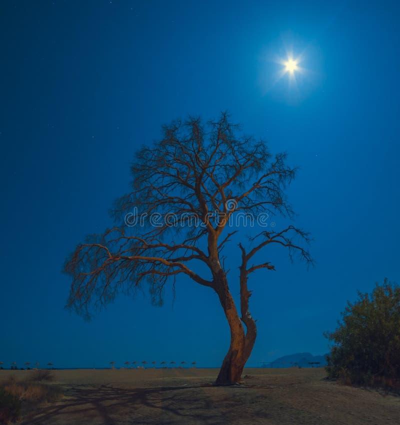 Oude pijnboomboom op een Cirali-strand in een maanlicht royalty-vrije stock fotografie