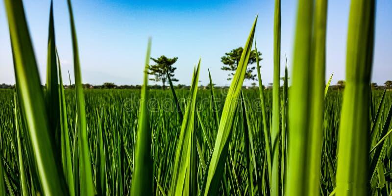 Oude rijstinstallaties die bij dichte waaier worden gezien stock fotografie