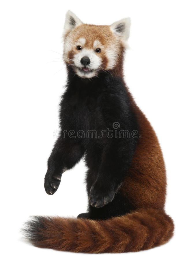 Oude Rode panda of het Glanzen kat, Ailurus fulgens stock foto's