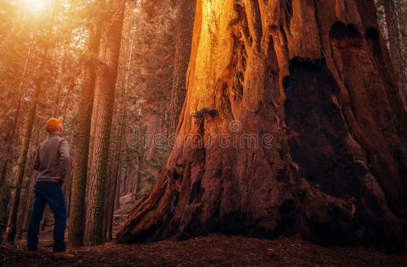 Oude Sequoia Forest Explorer stock afbeeldingen