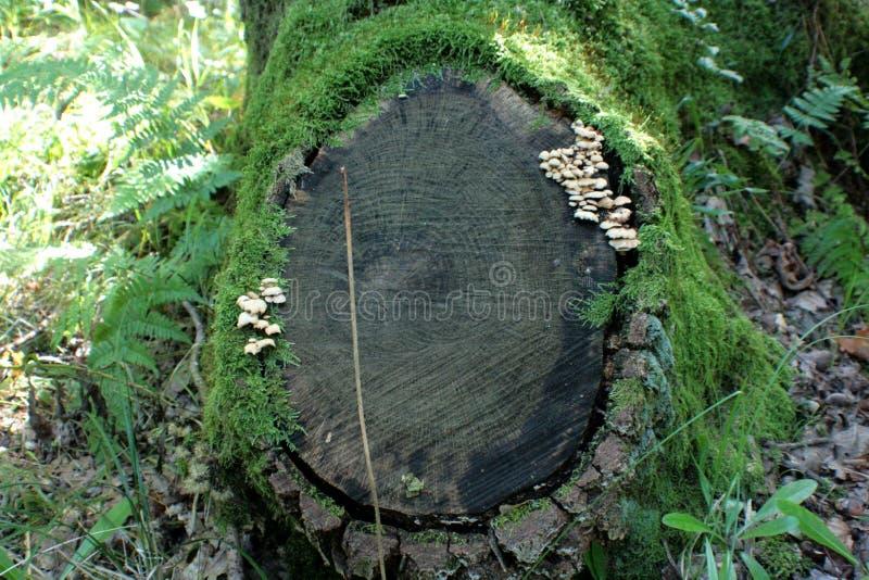 Oude stomp, eiken bomen, en groen mos royalty-vrije stock foto