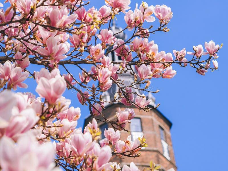 Oude toren met bloesem van magnolia's in Groningen in de lente Mooie roze magnolia's op blauwe hemelachtergrond royalty-vrije stock afbeelding