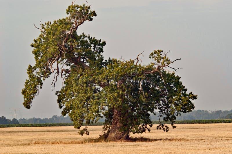 Oude vernietigde eiken boom stock foto