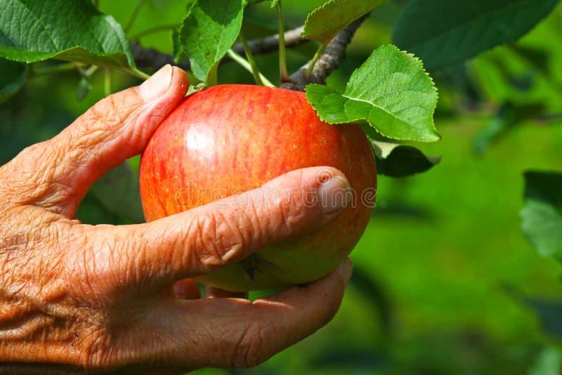 Oude vrouwen die een appel plukken royalty-vrije stock afbeelding