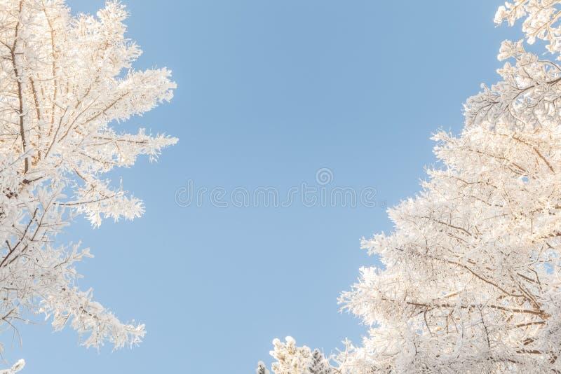 Oude wijven van bomen in de winter. stock afbeelding
