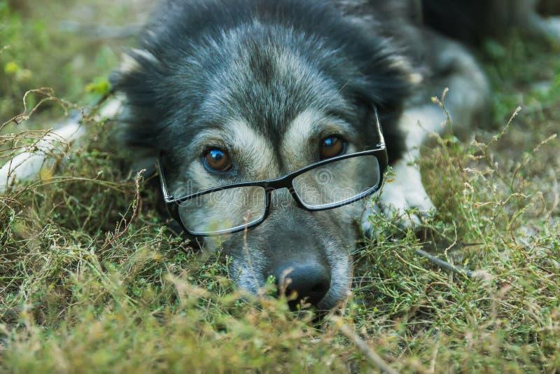 Oude wijze hond in glazen royalty-vrije stock afbeeldingen