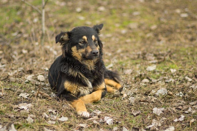 Oude, wijze verdwaalde hond die op de straat liggen stock afbeeldingen