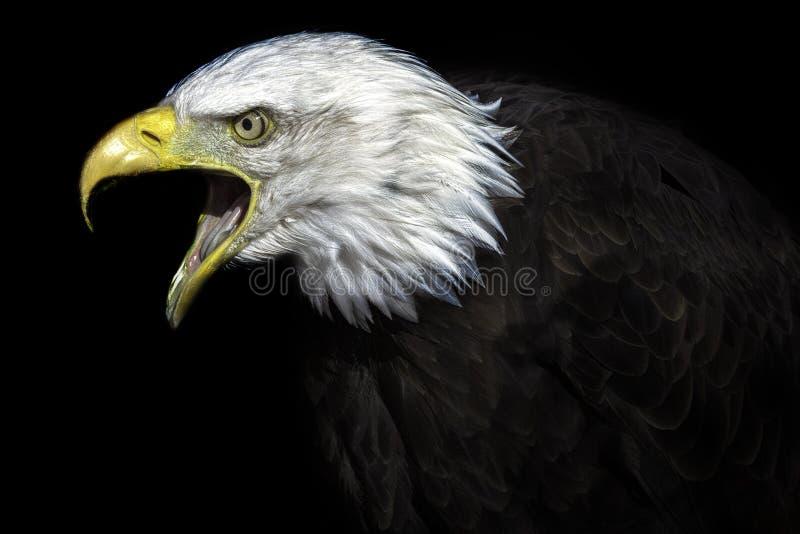 Ouder Oud Amerikaans Kaal Eagle stock afbeelding