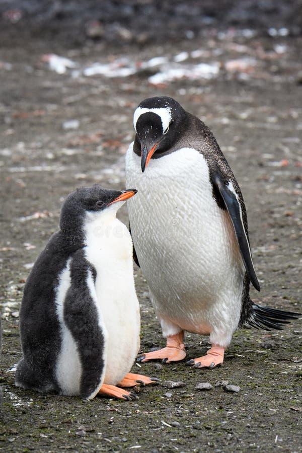 Ouder van de Gentoopinguïn en groot kuiken die, Aitcho-Eilanden, Zuid-Shetland-eilanden, Antarctica zich de verenigen royalty-vrije stock foto's