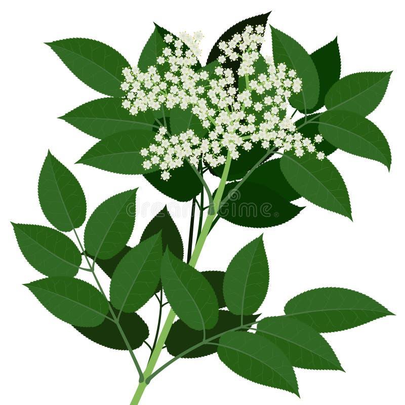 Oudere bloem stock illustratie