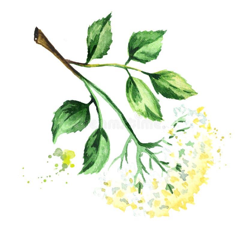 Oudere bloembloesem met bladeren op de tak Waterverfhand getrokken die illustratie, op witte achtergrond wordt geïsoleerd royalty-vrije illustratie
