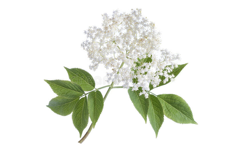 Oudere bloembloesems op witte achtergrond stock fotografie