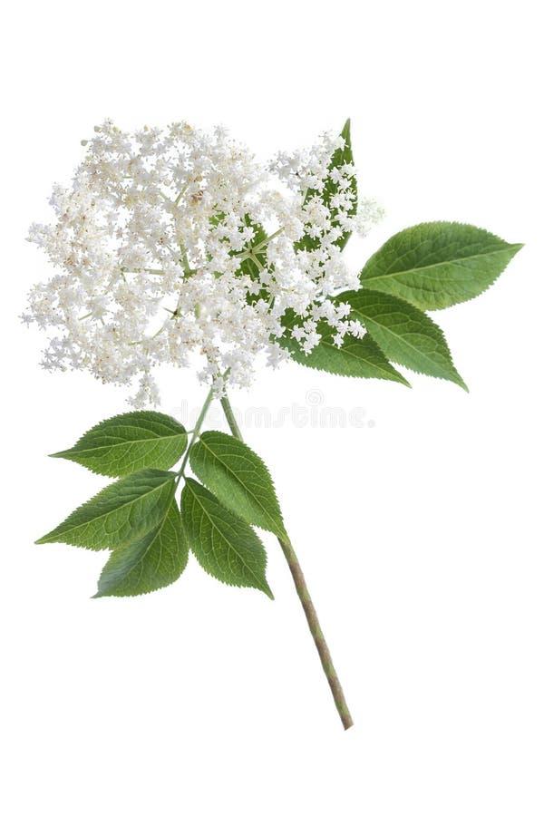 Oudere bloembloesems op witte achtergrond stock afbeeldingen
