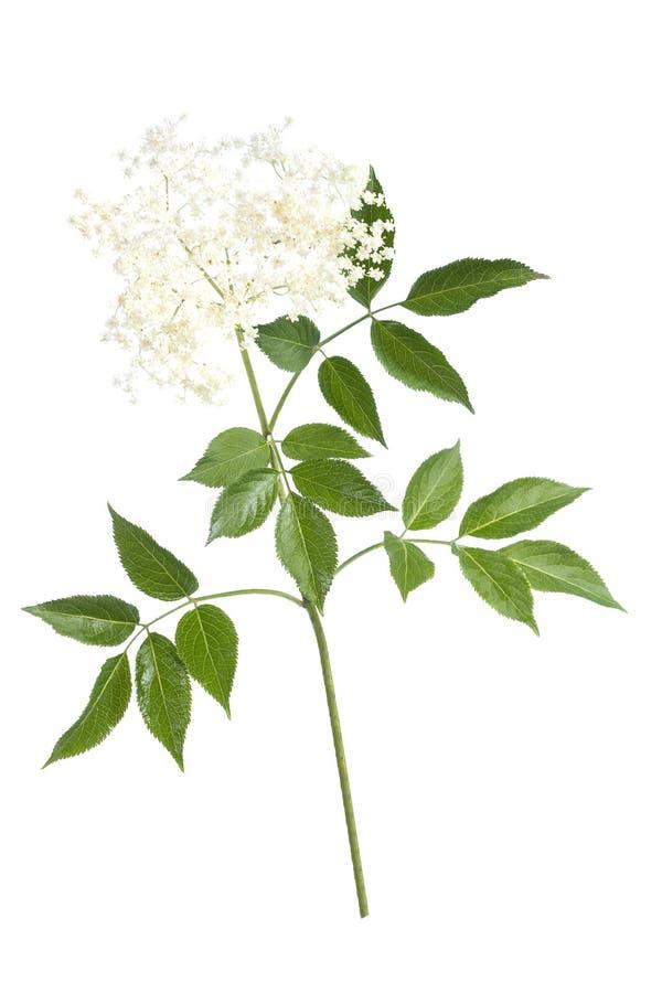Oudere bloembloesems op witte achtergrond royalty-vrije stock foto