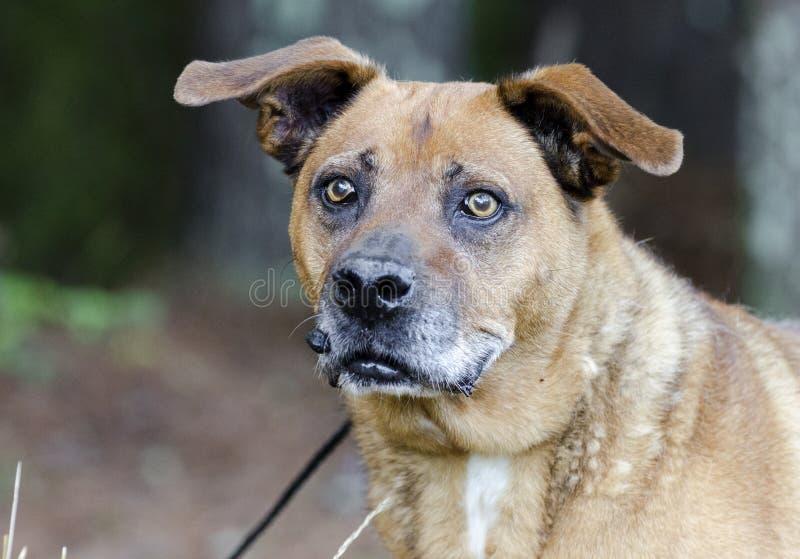 Oudere gemengde rassenhond met tumor op lip stock foto's