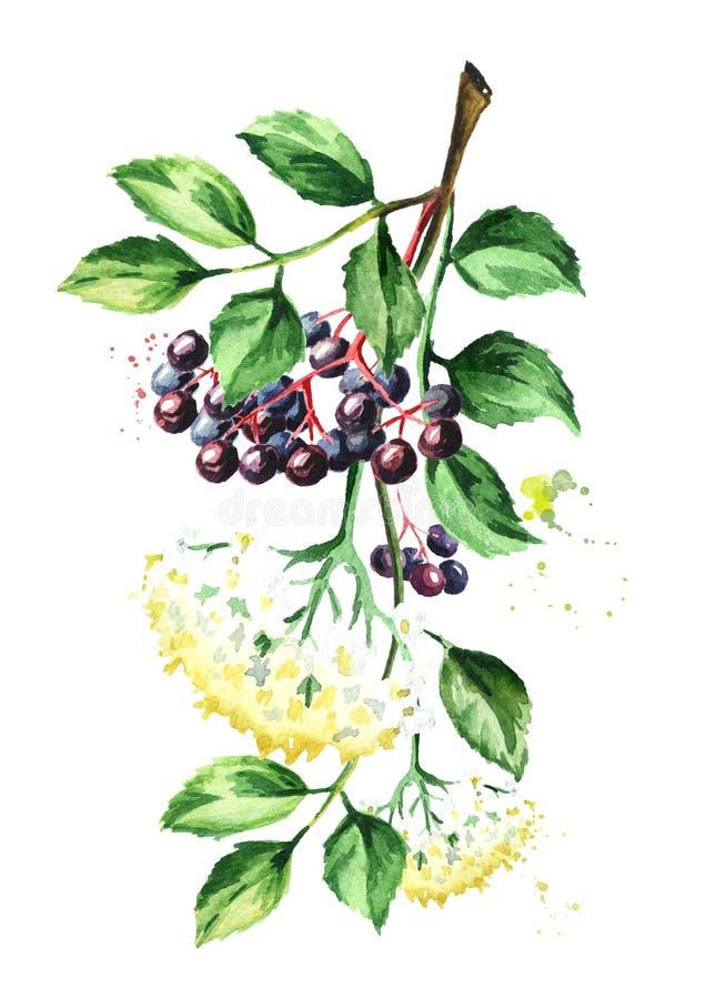 Oudere tak met bloemen, bladeren en vlierbes Waterverfhand getrokken die illustratie, op witte achtergrond wordt geïsoleerd royalty-vrije illustratie
