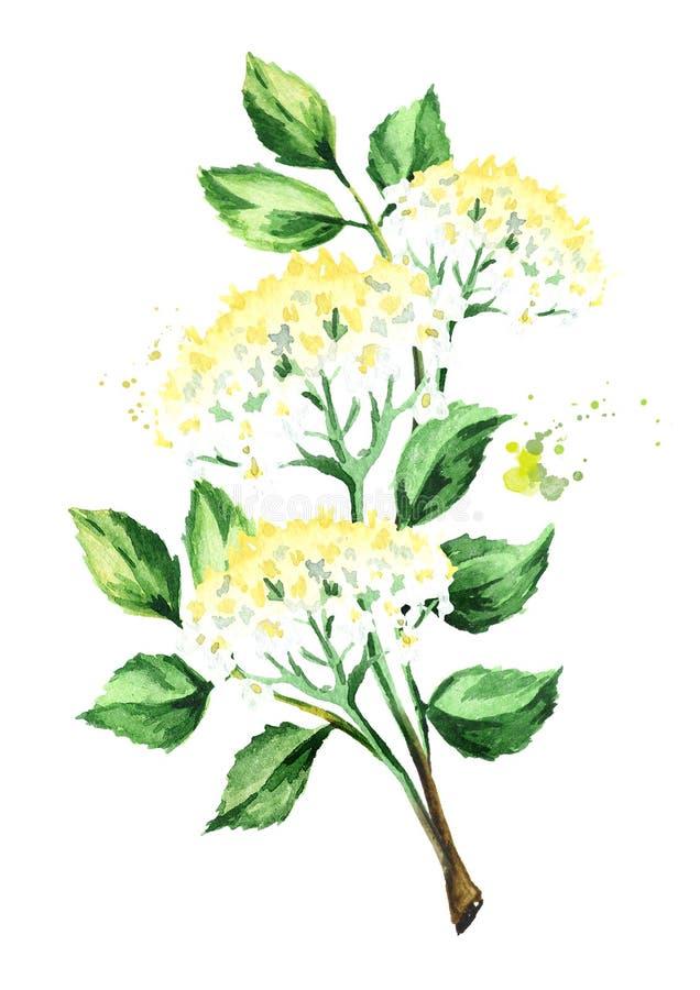 Oudere tak met bloemen en bladeren Waterverfhand getrokken die illustratie, op witte achtergrond wordt geïsoleerd royalty-vrije illustratie